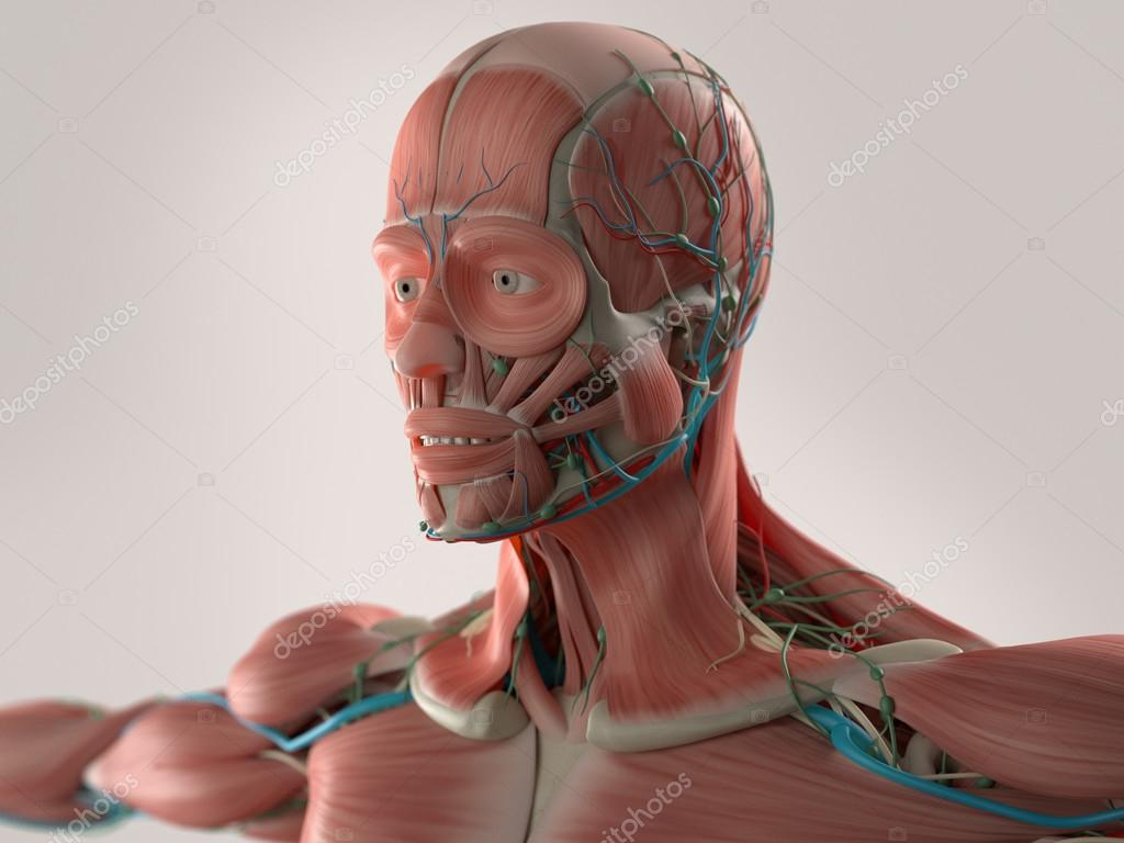 Human anatomy showing face, head, shoulders and chest muscular ...