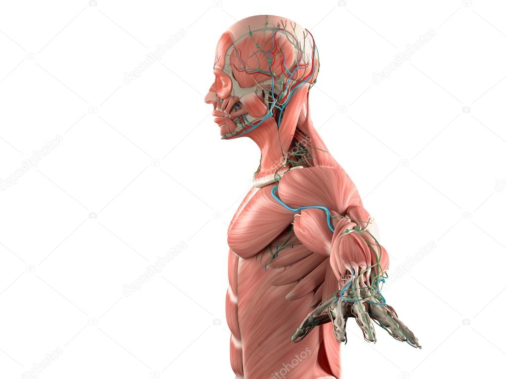 Human Anatomy Side View Of Head Showing Muscular And Vascular System
