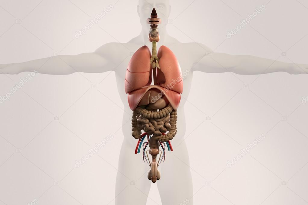 Human anatomy xray view of intestines showing stomach colon human anatomy xray view of intestines showing stomach colon intestines lungs urinary system and outline of body on light background ccuart Choice Image