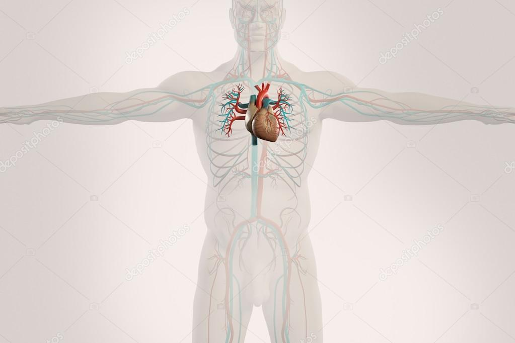 Human Anatomy X Ray View Of Circulatory System Showing Heart And