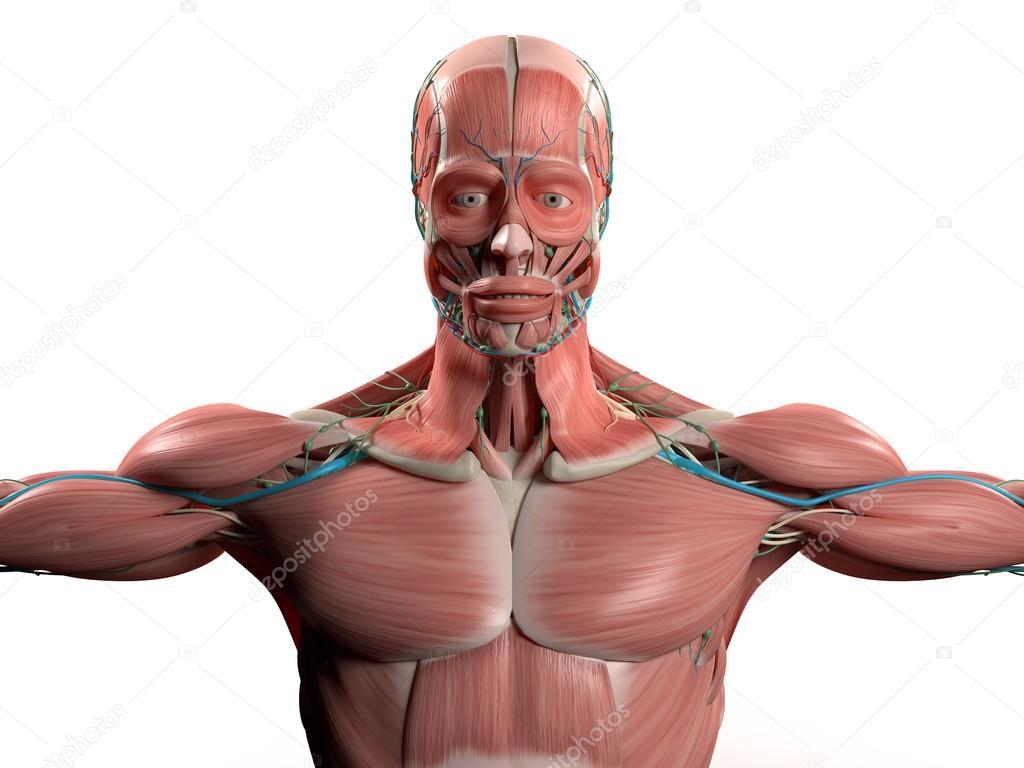 Human Anatomy Head Shoulders Torsomuscular System Vascular