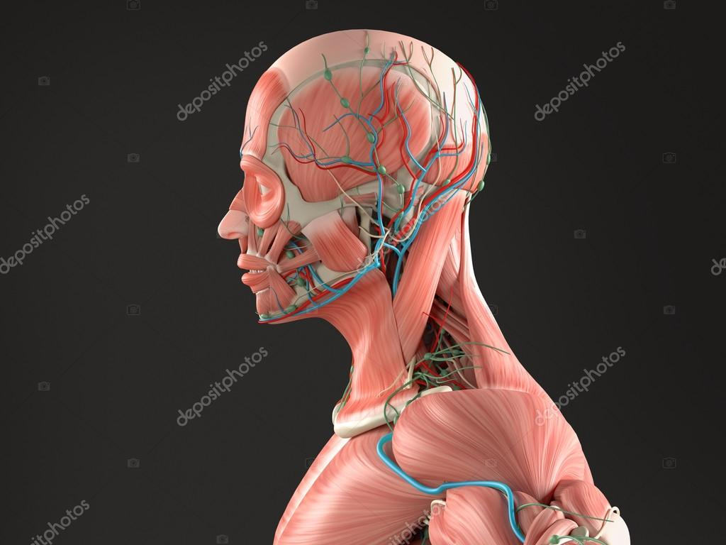 Human Anatomy Side View Medium Closeup Of Head Showing Muscular And