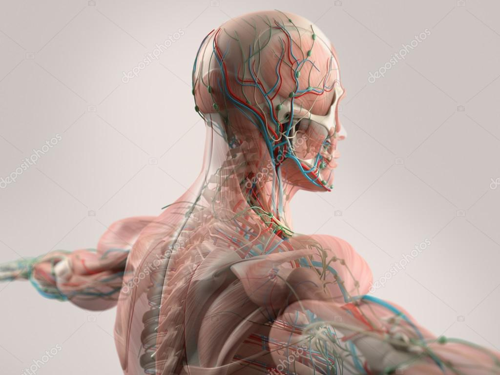 Human anatomy showing face, head, shoulders and back muscular system ...