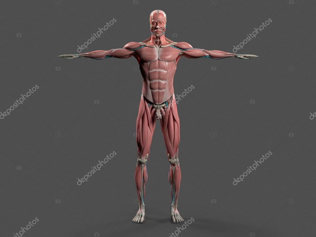 Human Anatomy With Front View Of Full Body Showing Muscular System