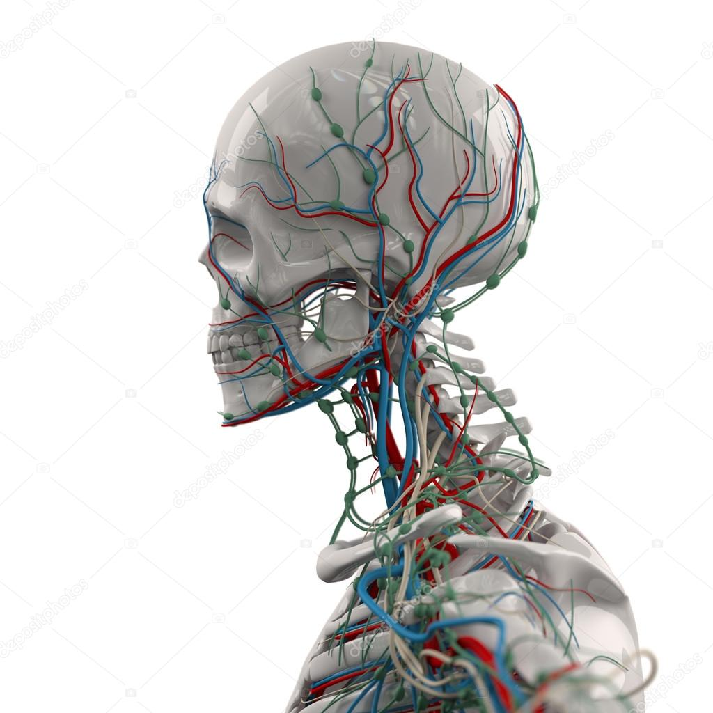 Human anatomy porcelain skeleton side view with veins on plain white ...
