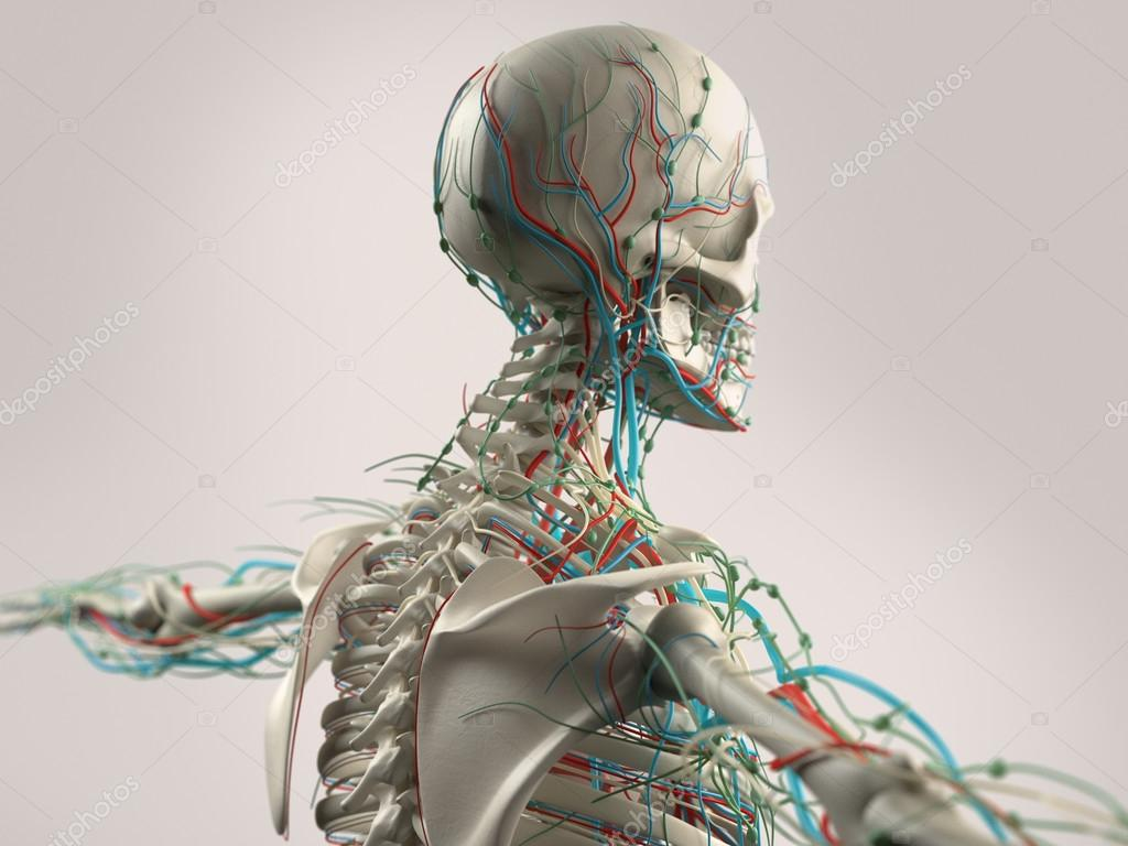 Human anatomy showing face, head, shoulders and back bone structure ...