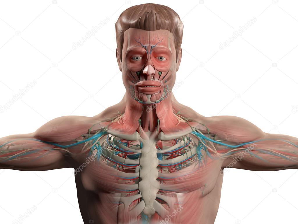 Anatomia Humana Que Mostra A Cabeça Os Ombros E O Torso