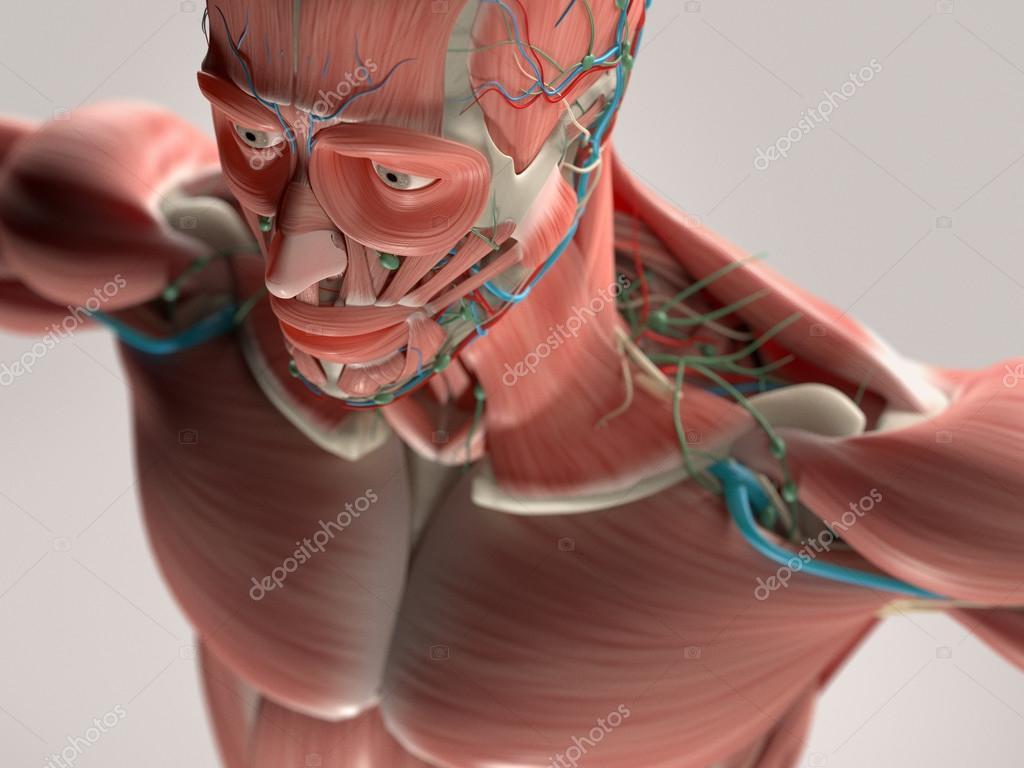 Anatomía humana mostrando cara, cabeza, hombros y sistema muscular ...