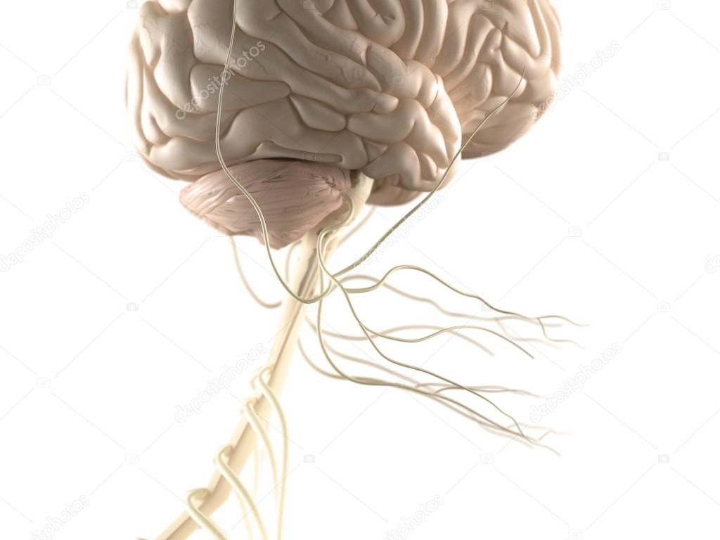 Vista de la anatomía del cerebro y sistema nervioso — Fotos de Stock ...