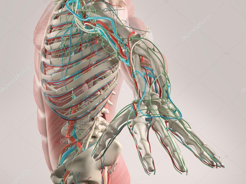 Brazo de la anatomía humana que muestra la estructura esquelética y ...