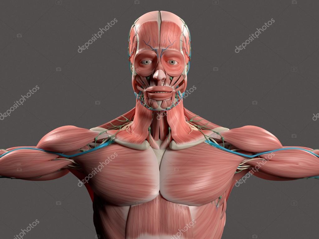 Mostrando cara de anatomía humana, cabeza, hombros y sistema ...