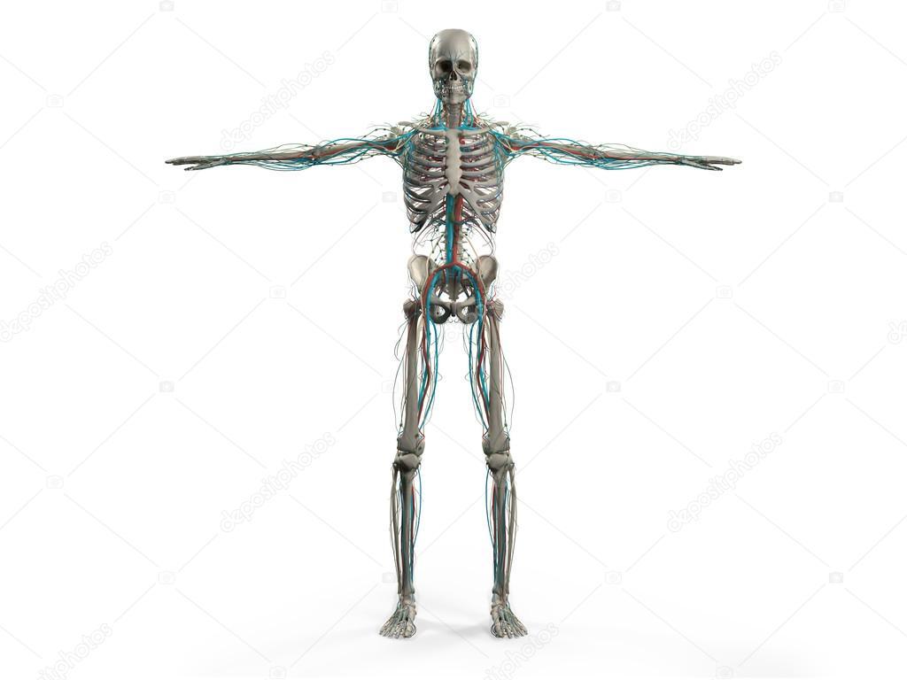 Anatomía humana mostrando delantera todo el cuerpo, cabeza, hombros ...