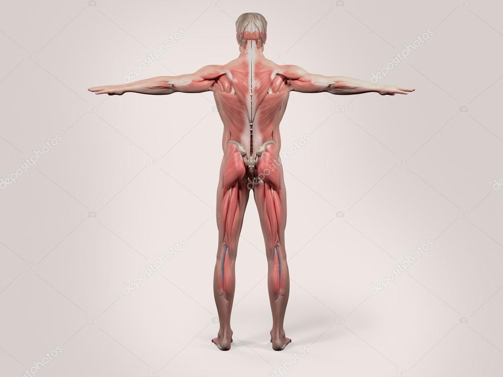 Anatomie des Menschen mit Rücken angesichts der Ganzkörper zeigt ...
