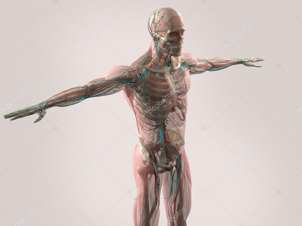 Menschliche Anatomie zeigt Gesicht, Kopf, Schultern und Oberkörper ...