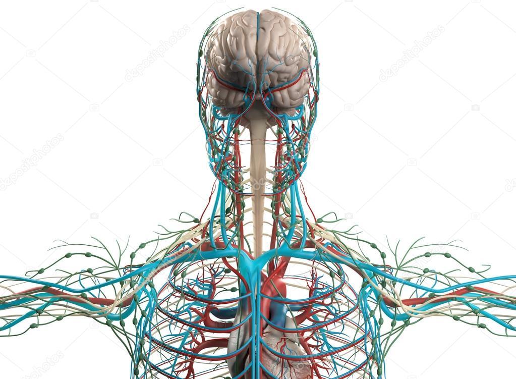 Menschliche Anatomie Gehirn, Nervensystem, Kreislauf-system ...
