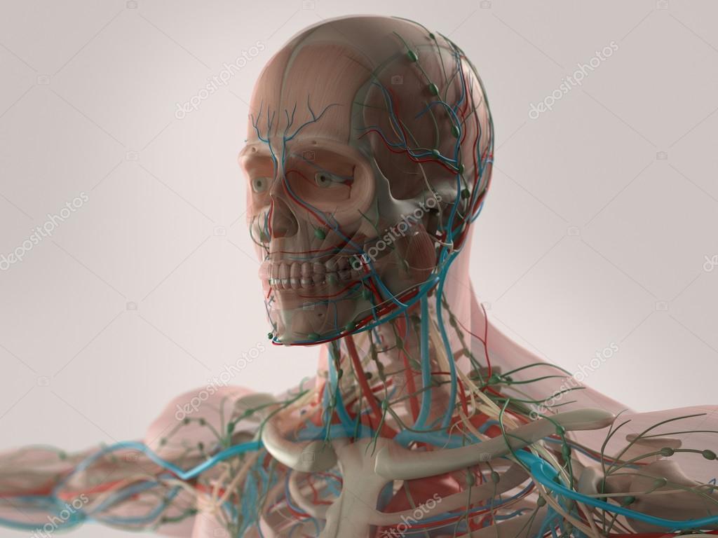Anatomía humana cerebro, cara, cabeza, hombros y sistema muscular de ...