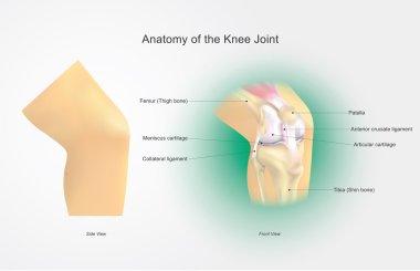Anatomy of the Knee Joint. Illustration, Vector Arts.