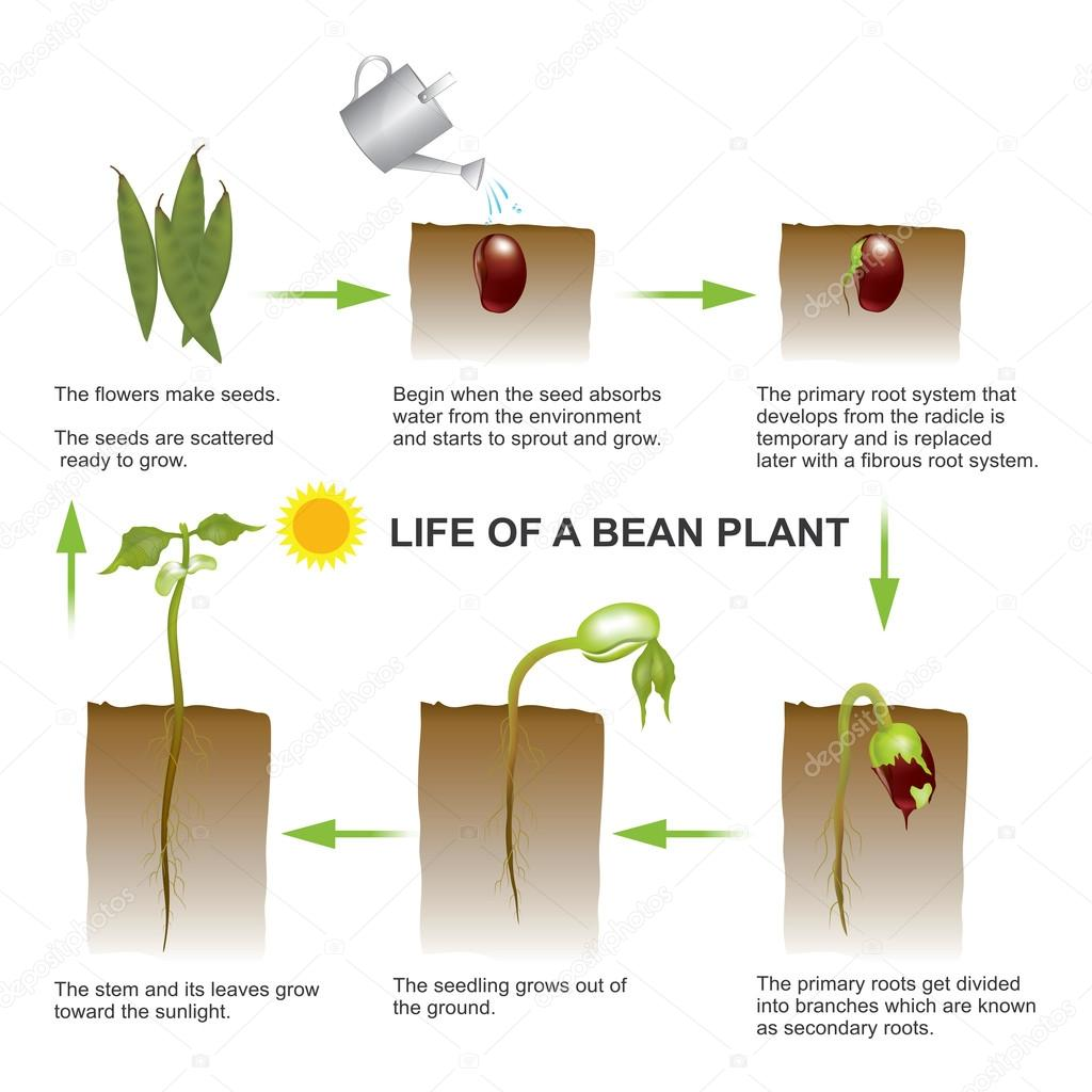 Life of a bean plant. Vector, Illustration.