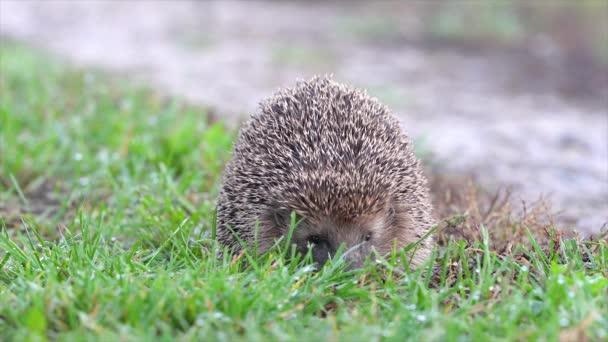 Sündisznó (Erinaceinae) a kertben feküdt a fűben.