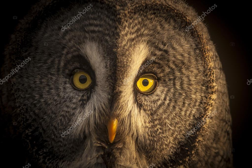 Eyes Great grey owl