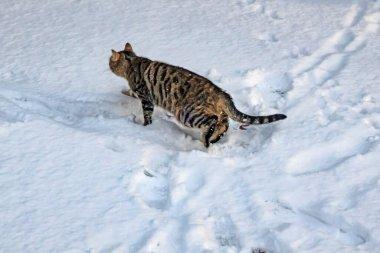 """Картина, постер, плакат, фотообои """"кошки стамбула в зимний сезон и снег картины цветы"""", артикул 443597892"""