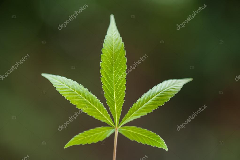 green Cannabis leaf