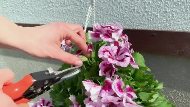 Pruning Pelargonium Flowers