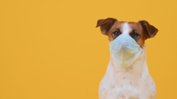 Cute little dog breed Jack Russell Terrier in a medical mask on his face on a yellow studio background