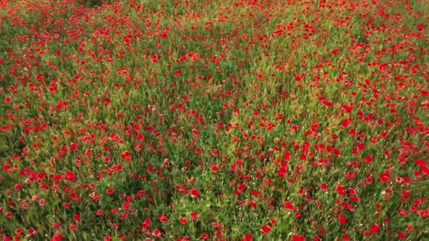 4k Létání nad barevným polem kvetoucích divokých máků. Krásné pole kvetoucích červených máků. Poppy pole.