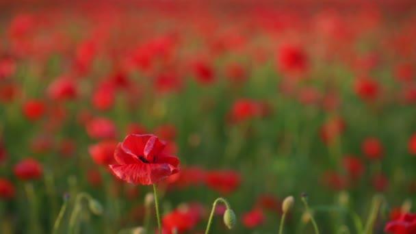 Úžasné pole kvetoucích červených máků. Pole kvetoucích máků. krásná letní venkovská krajina. Soft focus blur 4K video