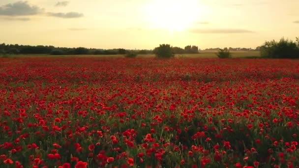 4k letící nad barevným polem kvetoucích divokých máků při západu slunce. Krásné pole kvetoucích červených máků. Poppy pole.