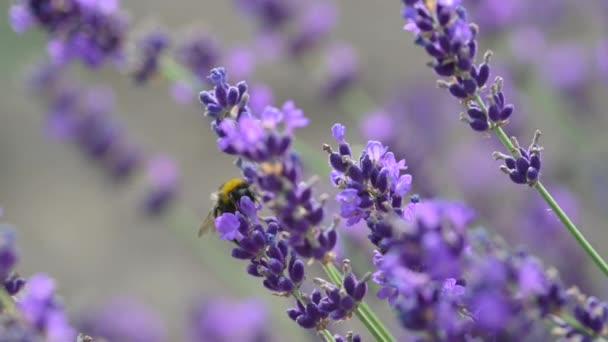 Detailní záběr včely medové na kvetoucí levanduli. levandulově fialové aromatické květy na levandulových polích francouzské Provence. Pozadí přírody.