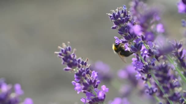Close-up of Honey Bee on Blooming Fragrant Lavender. lavender purple aromatic flowers at lavender fields of the French Provence. Nature Background.