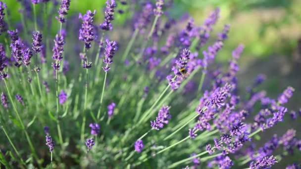 Közelkép Gyönyörű virágzó levendula virágok ringatóznak a szélben. A méhecske a levendulavirágokon dolgozik. Virágzó Violet Illatos Levendula Virágok. Lassú mozgás. Természet háttere.