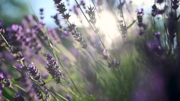 Detailní záběr Krásná kvetoucí levandule houpající se ve větru při západu slunce. Levandulově fialové aromatické květiny na levandulových polích francouzské Provence. Pozadí přírody.