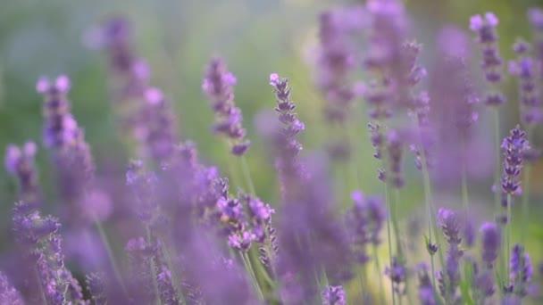 Közelkép Gyönyörű virágzó levendula virágok ringatóznak a szélben. Szelektív fókusz a levendula bokrokra. Virágzó Violet Illatos Levendula Virágok. Természet háttere.