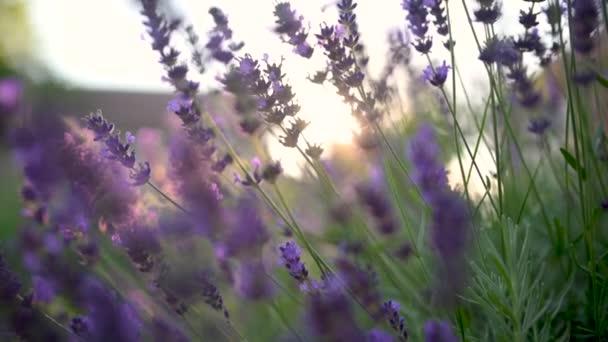 Nahaufnahme Schöner blühender Lavendel, der sich bei Sonnenuntergang im Wind wiegt. Lavendel Lila aromatische Blumen auf den Lavendelfeldern der französischen Provence. Hintergrund Natur.