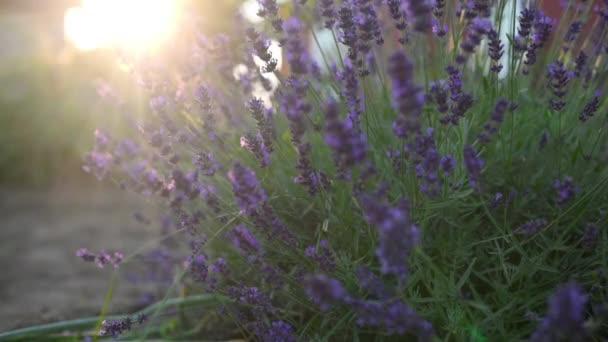 Közelkép Gyönyörű virágzó levendula lengett a szélben naplementekor. Levendula lila aromás virágok a francia Provence-i Lavender Fields-ben. Természet háttere.