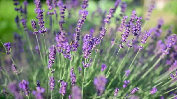 Levendula mező. Méhecske dolgozik a növekvő levendulavirág mezőn. Gyönyörű virágzó ibolya illatos levendulavirág a mezőn. Lassú mozgás