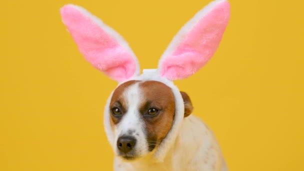 Vicces kutya nyúlfülű kalapban elszigetelt stúdió sárga háttérrel. Húsvéti nyuszi