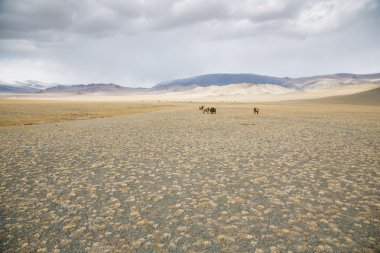 cows in a landscape of  Mongolia