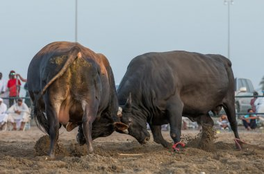 Two bulls fighting in Fujairah
