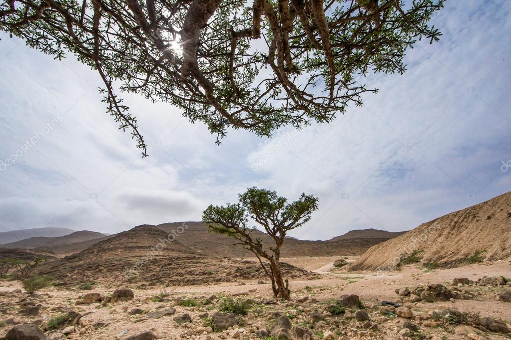 Frankincense trees in Salalah