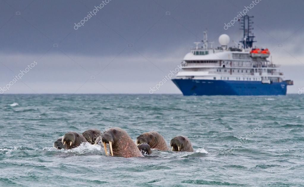 Walruses in the arctic water