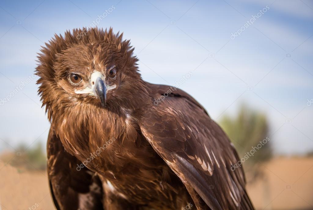 Peregrine falcon in Dubai — Stock Photo © katiekk #124043300