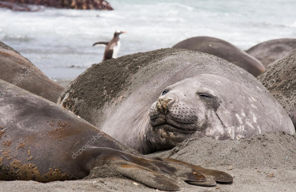 Elephant seal melting on a beach