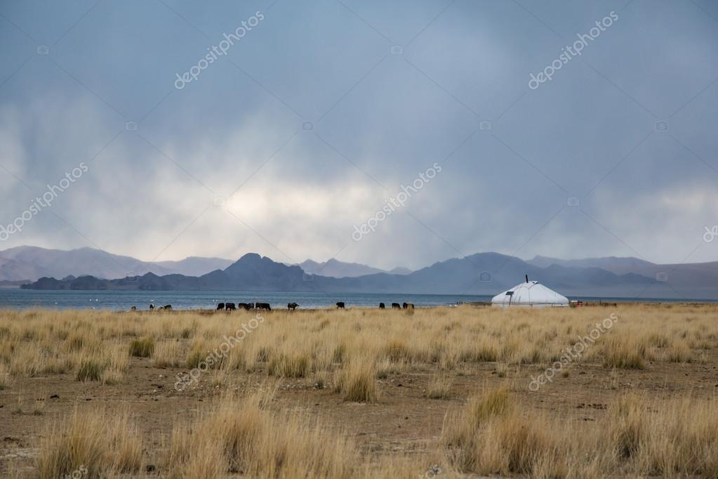 Yurt and cows in a landscape of  Mongolia