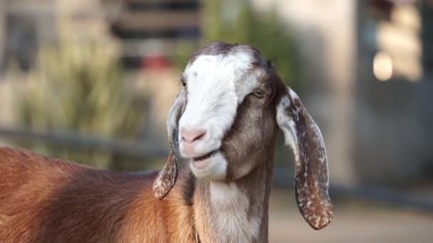 Herrliche Ansicht der weißen Ziege in einem Farmland.Wiederkäuende Ziegenarten oder Capra Filmmaterial in einem Farmland. Schöne Aussicht auf Ziege, die mit attraktivem Blick den Kopf schüttelt.