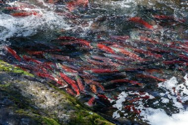 Jumping Salmons in a river