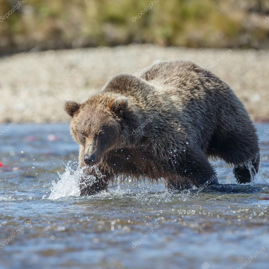 Brown bear at Katmai Alaska